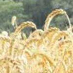 La parabole du bon grain et de l'ivraie